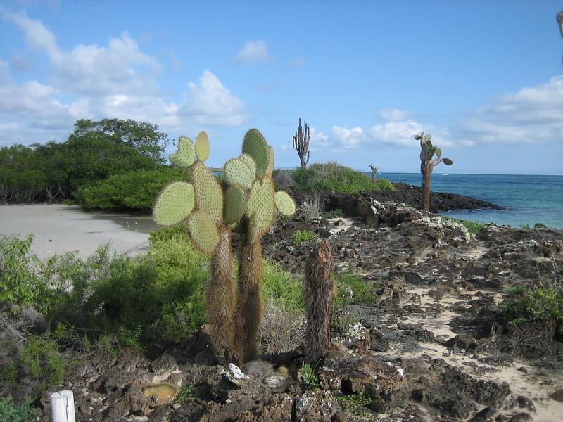 2007-02-22-0023-Galapagos with Hahns-Day 6-Santa Cruz Highlands-Prickly Pear and Candalabra Cacti.JPG