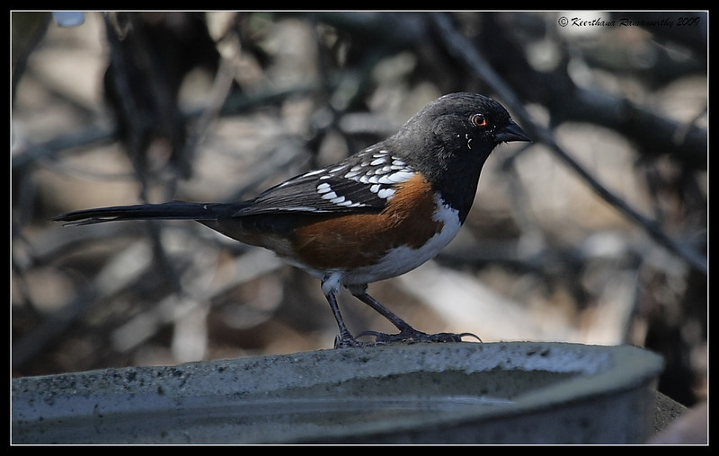 Spotted Towhee, The Drip, Cabrillo National Monument, San Diego County, California, November 2009