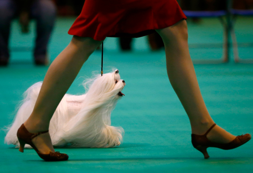 Description of . A woman parades a Maltese dog for the judges during the second day of the Crufts Dog Show in Birmingham, central England March 8, 2013. REUTERS/Darren Staples