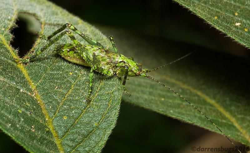 A mossy-textured katydid nymph (Tettigoniidae) from Monteverde, Costa Rica.
