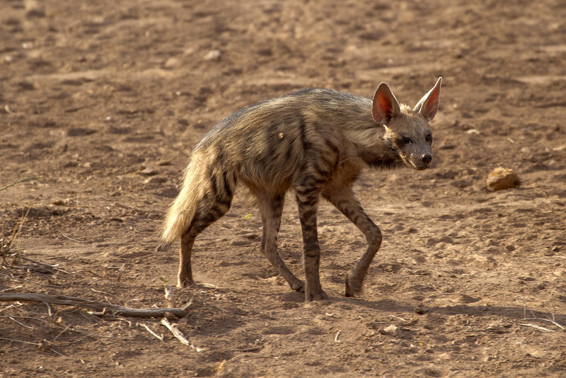 Nothing too special photo-wise here, but a rare Striped Hyena nonetheless.  Not too many of these guys around.