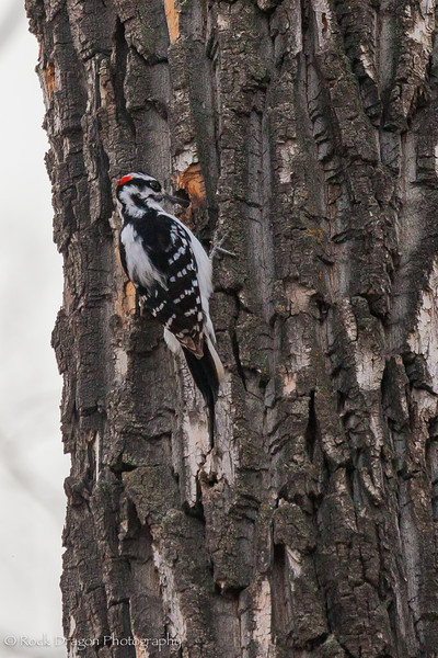 A downy woodpecker in FIsh Creek Park.