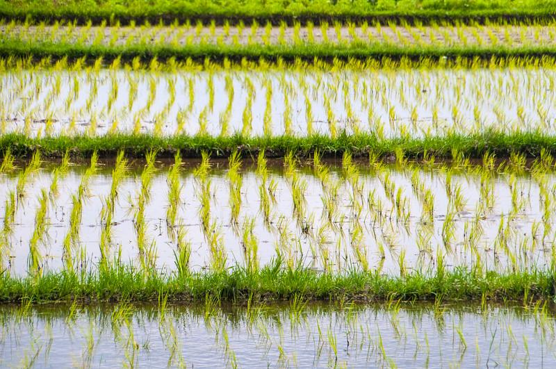 Rice Paddies-8.jpg