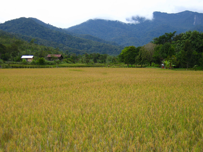 rice field around a kelabit village.