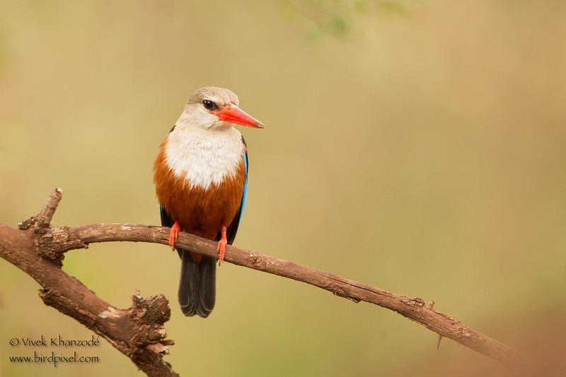 Grey-headed Kingfisher - Lake Manyara National Park, Tanzania