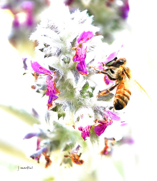 honey bee 7-11-2011.jpg