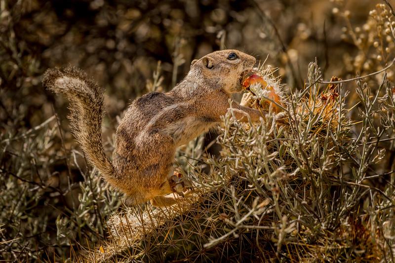 Harris Antelope Squirrel and Cholla Cactus #4