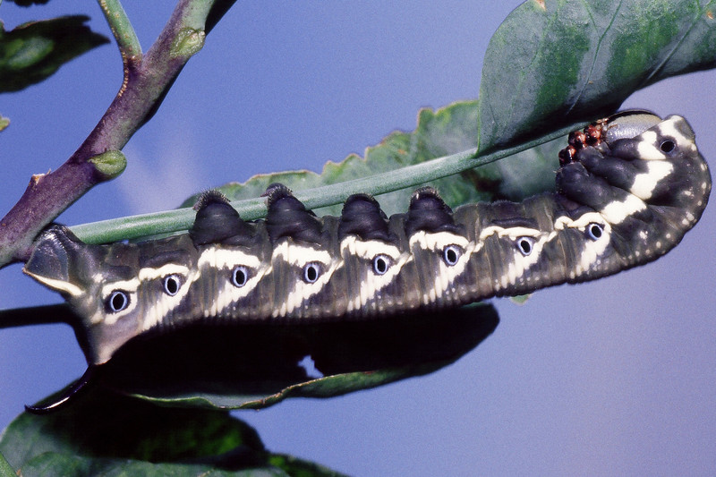 Manduca blackburnii (Lepidoptera: Sphingidae) on Nicotiana glauca, East Maui