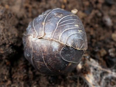 Pill Bugs - Isopoda