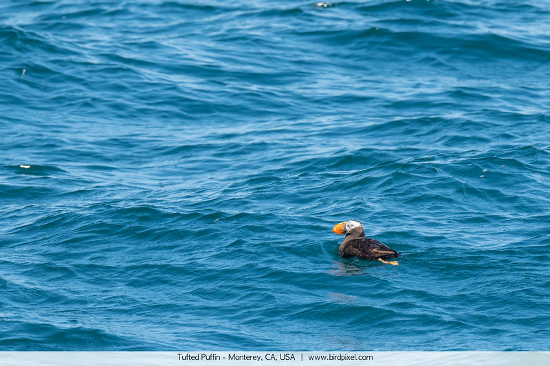 Tufted Puffin - Monterey, CA, USA