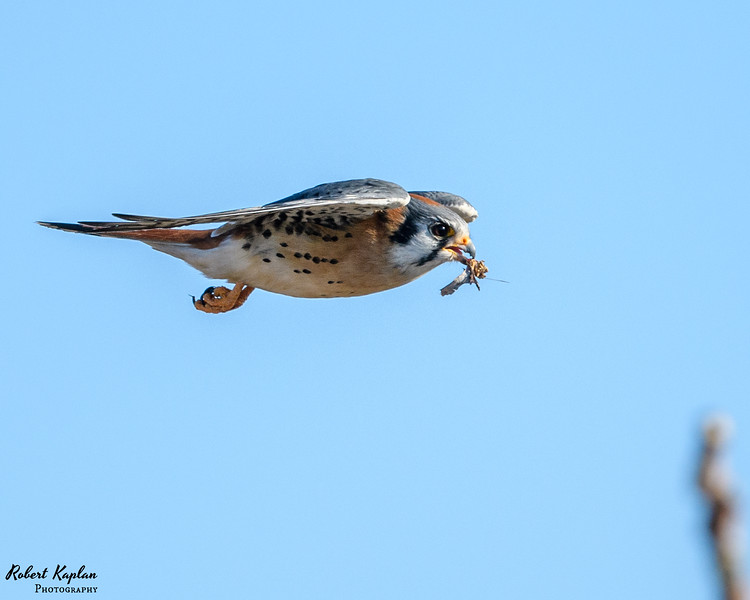 Kestrel in FLight-3601.jpg