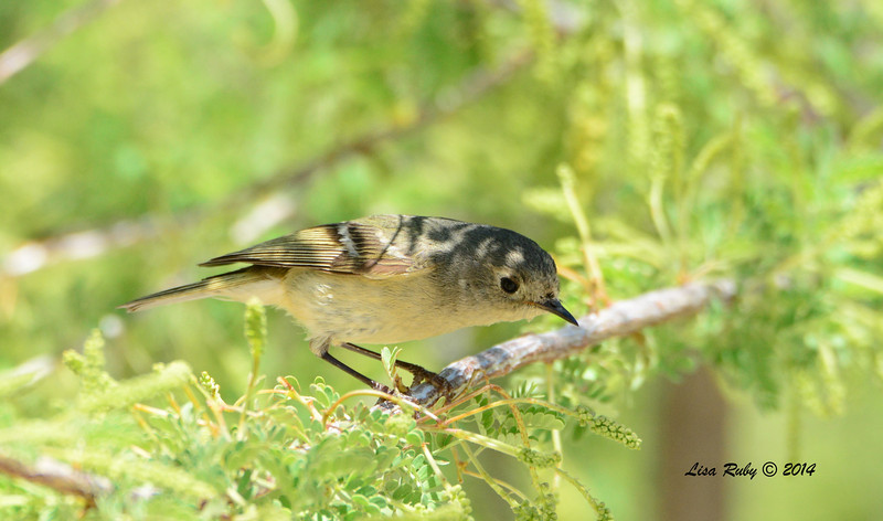 Ruby-crowned Kinglet with worn plumage - 4/6/2014 - Agua Caliente County Park, San Diego