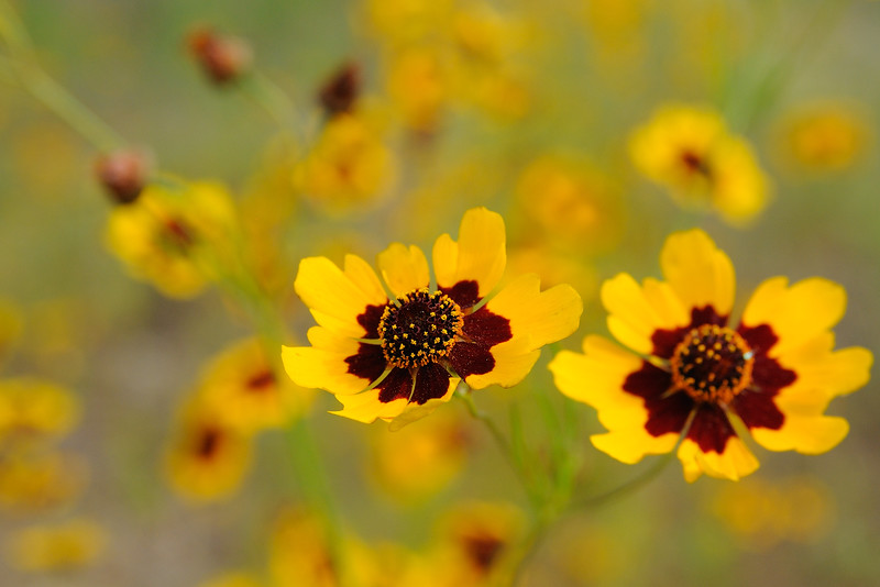 The Golden Tickseed Coreopsis continues to bloom beautifully.
