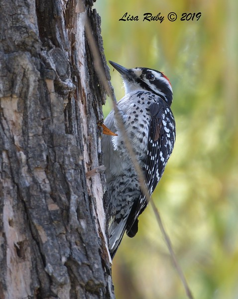 Nuttall's Woodpecker  - 12/01/2019 - Lindo Lake
