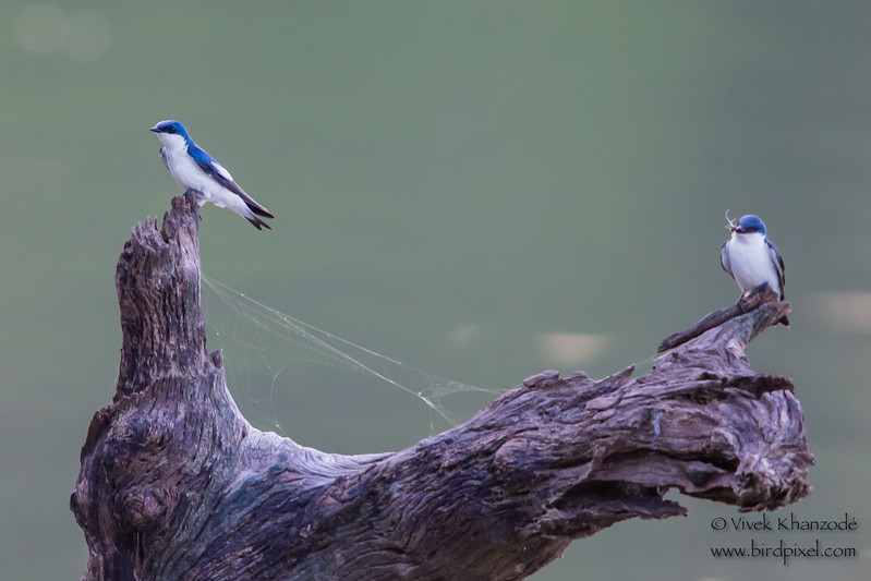 Blue-and-white Swallow - Record - Oxbow Lake Near Tambo Blanquillo Lodge, Manu Biosphere Preserve, Peru