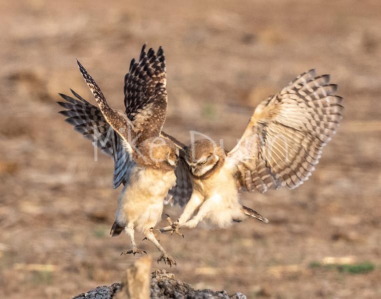 Burrowing Owl 21-59