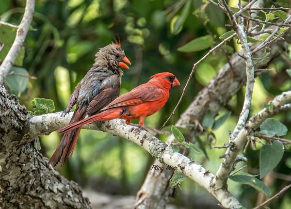 Cardinal Couple_DWL8866.jpg