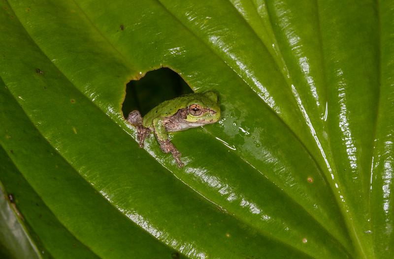 Treefrog Peek.jpg