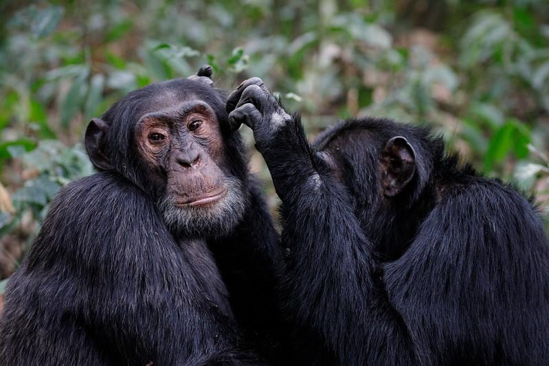 African_Apes_0218_PSokol-1055.jpg