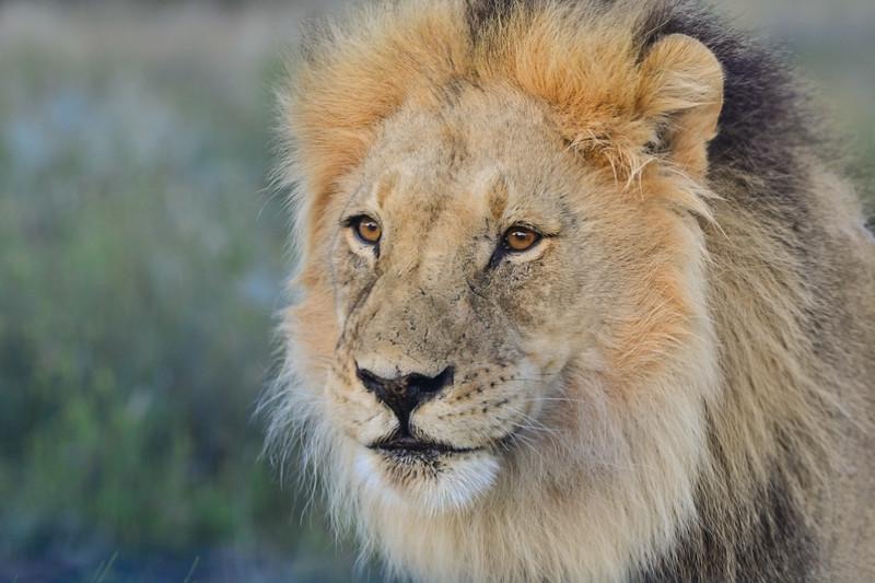 Male lion 2-1.JPG