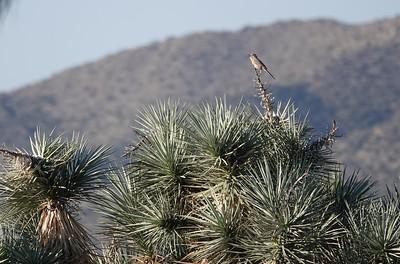 Surveying the desert thrashers