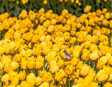 2018 Skagit Valley Tulips pt. 2