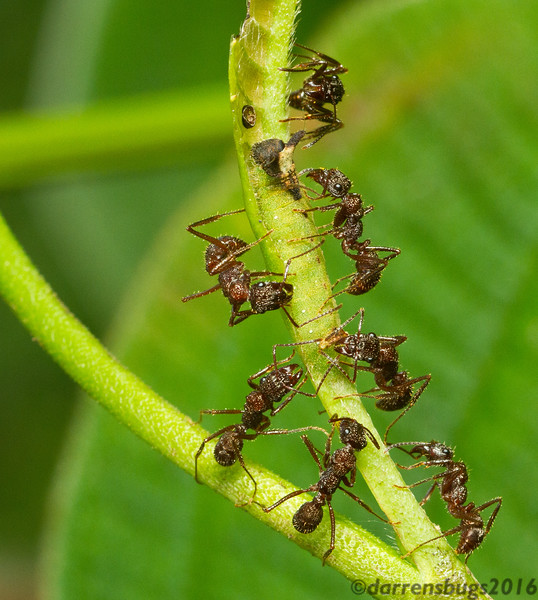 "Much like how they ""farm"" aphids, these ants (Ectatomma sp.) from Panama are protecting this well-camouflaged metalmark butterfly caterpillar (Riodinidae, possibly Thisbe sp.) in exchange for nutritious secretions, but these guys take it a step further. This family of caterpillars have evolved special organs over time to produce food for - and deliver chemical cues to - their ant bodyguards. Crazier yet, these ""drumming caterpillars"" have a unique set of appendages that are thought to attract ants by making their host plant vibrate."