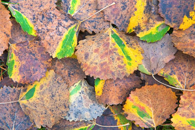Autumn leaf , Höstlöv