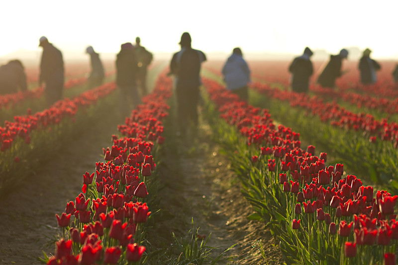 tulips and workers.jpg