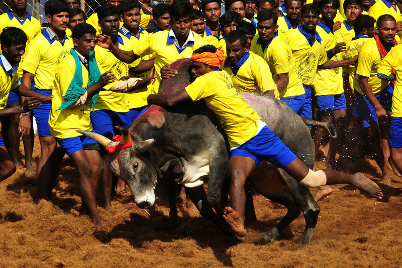 . Participants attempt to hold down a bull during the traditional bull taming festival called \'Jallikattu\' in Palamedu near Madurai, around 500km south of Chennai, on January 15, 2013. Jallikattu is a bull taming sport played in Tamil Nadu as part of Pongal celebrations. AFP PHOTOSTRDEL/AFP/Getty Images
