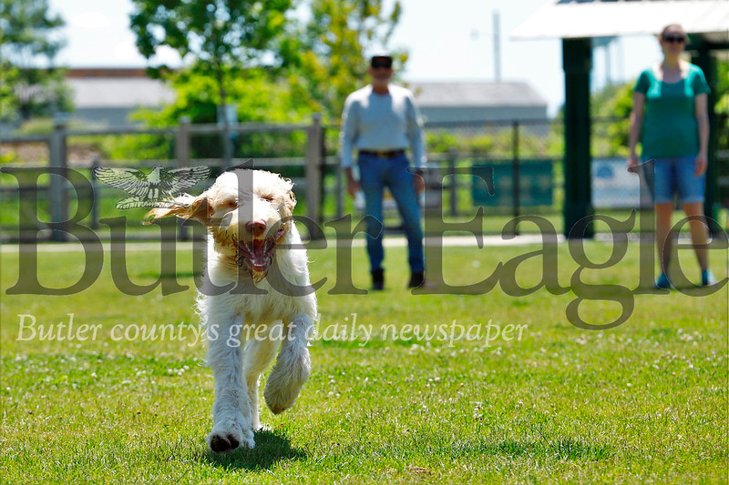 Alan Offstein's dog Guapo charges toward the camera  at the Alemeda Park dog Park Tuesday. Seb Foltz/Butler Eagle