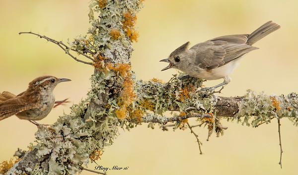 Carolina Wren & Tufted Titmouse