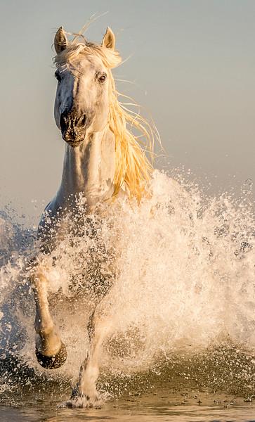 Camargue Horses, France 2015