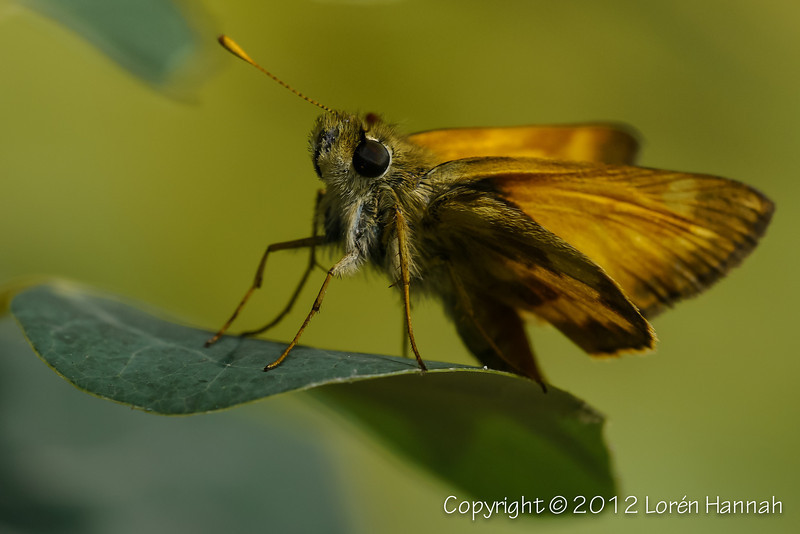 Skippers in the Wild