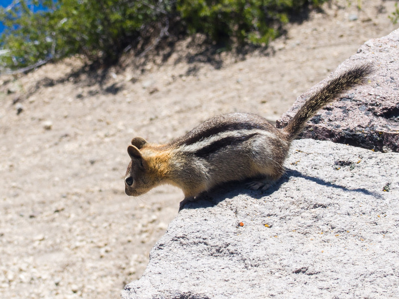 Chipmunk begging for food