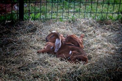 Cool Hills Ranch Animals