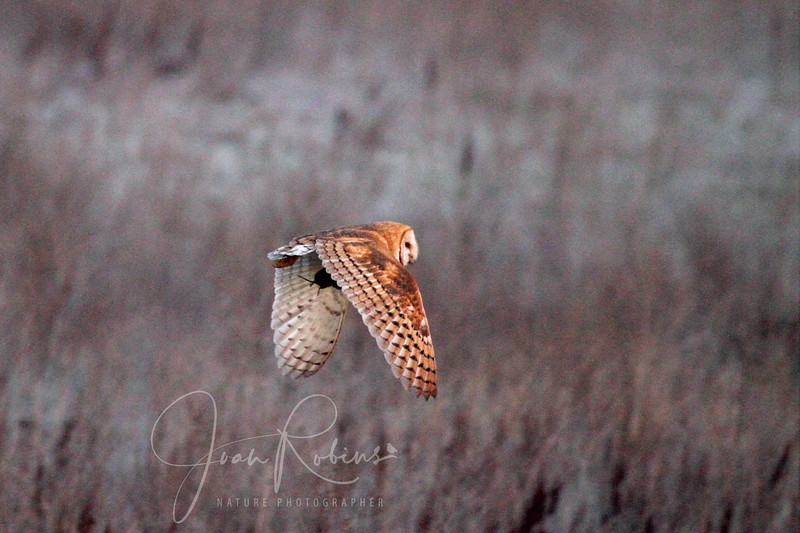 Barn Owl gets away at first