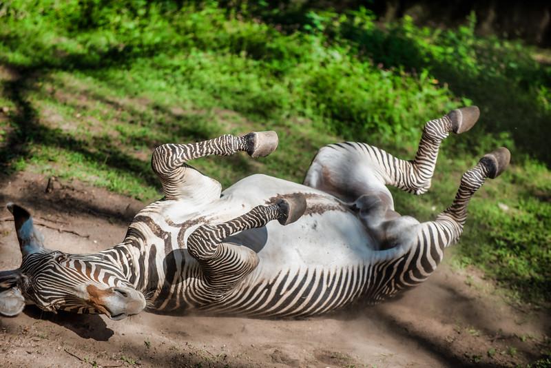zebra zebra-2.jpg