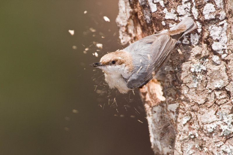 Brown_headed_nuthatch_excavating.jpg