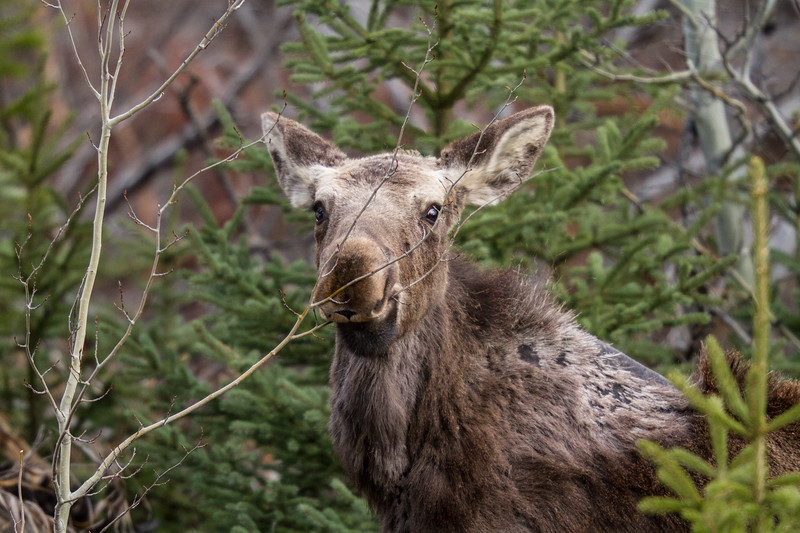 Moose calf Yellowstone National Park WY IMG_7203.jpg