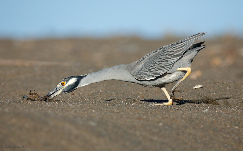 Night Heron hunting MASTER.jpg