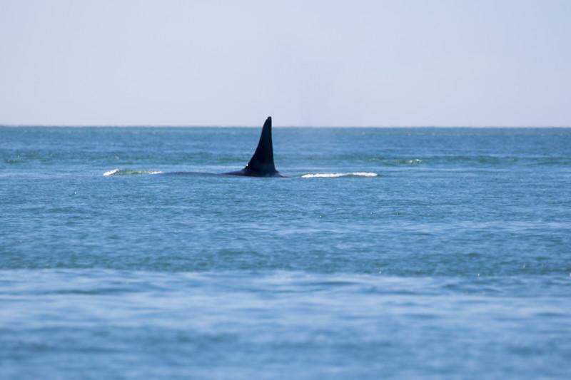 Orcas -  073115-012.jpg