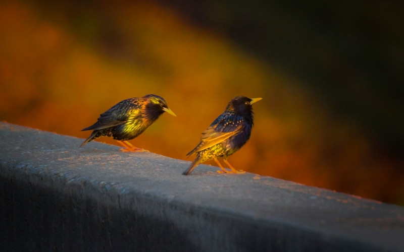 5.7.17 - Prairie Creek Recreation Area: European Starlings