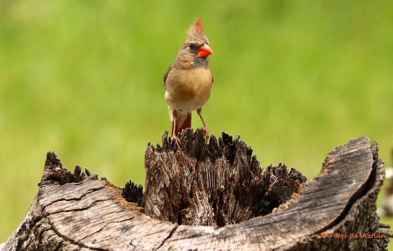 Female Cardinal IMG_8966.jpg
