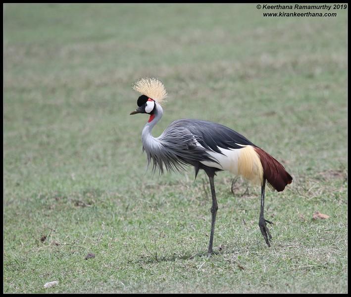 Grey Crowned Crane, Ngorongoro Crater, Ngorongoro Conservation Area, Tanzania, November 2019