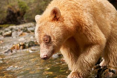 Sprit Bears 2019