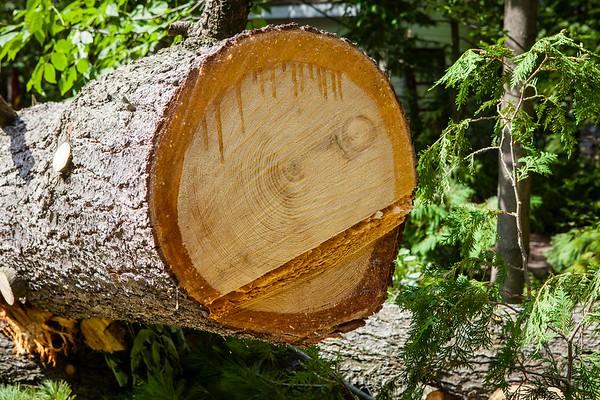 Seagrave White Pine is Taken Down