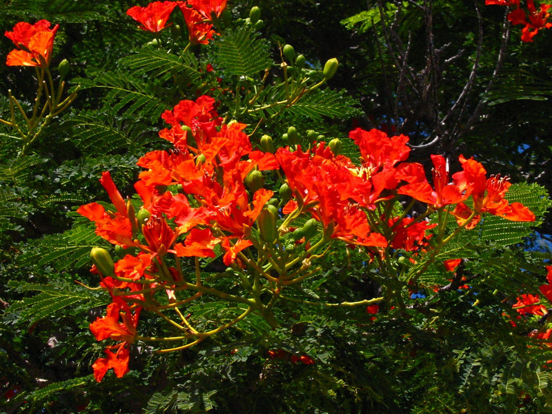 Delonix regia (Fabaceae) on the Big Island (Hawaii) (October 10, 2002)PhotoID:PT20021010_150-5024Copyright © 2002 by Philip A. Thomas.  Contact imagesbypt@philipt.com for permission to use.  (Permission is usually granted for non-profit, educational use, but you must ask and obtain permission before using this image.)More images of this species by this photographer may be found here: search for more images of this species by PT