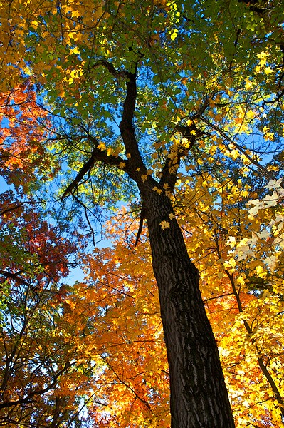 Fall canopy in full color.