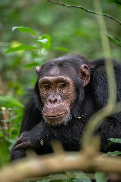 Uganda_T_Chimps-622.jpg